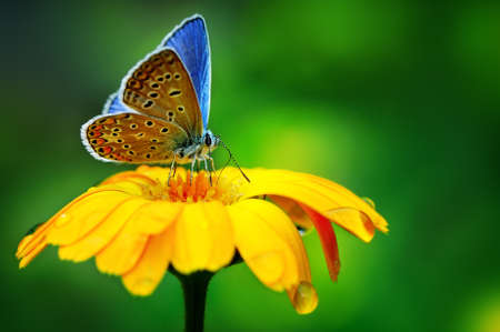 BÅ'Ä™kitny motyl na żółty kwiat Zdjęcie Seryjne