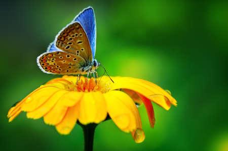naturaleza: mariposa azul en flor amarilla