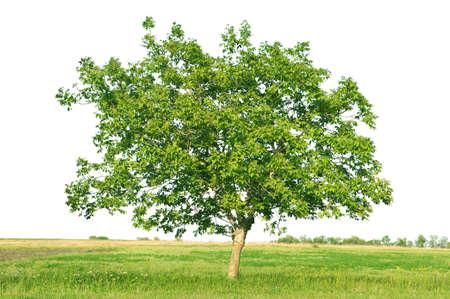 leafy trees: Europea nogal (Juglans regia) aislado en un fondo blanco
