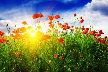 poppies field in rays sun Zdjęcie Seryjne