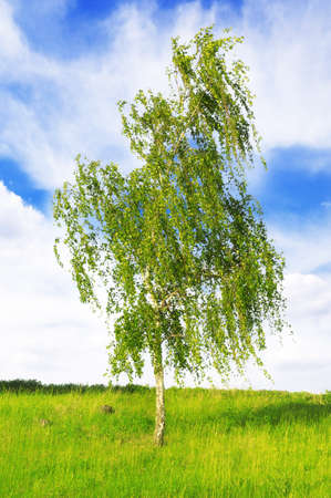 european white birch: white birch on a sky background                                    Stock Photo