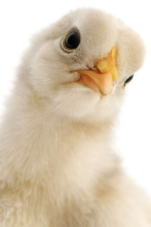 chicken close-up isolated on white background Stock Photo - 11979743