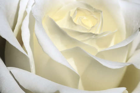 Beautiful white rose  photo