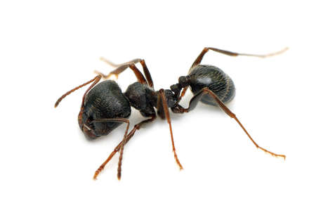 black ant isolated on  white background                                     photo