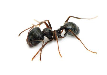macro image: black ant isolated on  white background                                     Stock Photo