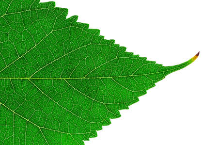 photosynthesis: Leaf of a plant isolated on a white background                           Stock Photo