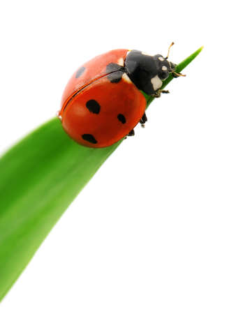 ladybird on green leaf isolated on a white background                                     photo