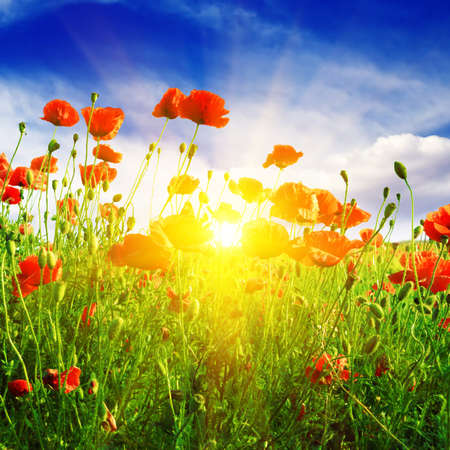 red poppies on green field: poppies field in rays sun Stock Photo