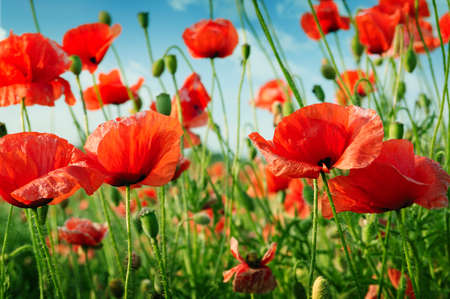 flowers field: poppies on green field