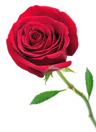 Beautiful red rose isolated on a white background                                     photo
