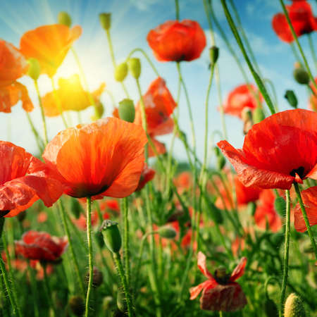 red poppies on green field: poppies field in rays sun