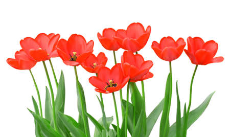 Tulips isolated on a white background photo