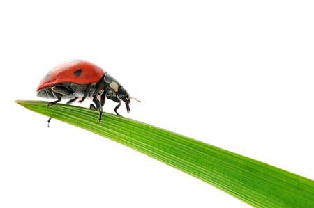 lady bug: ladybird on green leaf isolated on a white background