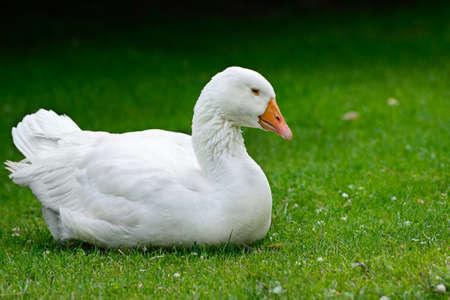 Goose resting on green grass.                                     photo