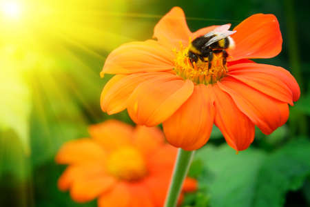 Bumble bee pollinating a flower lit by the sun