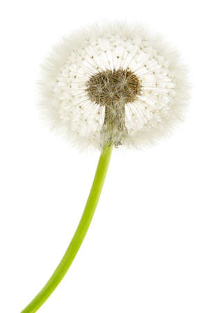 dandelion macro isolated on white background                                  版權商用圖片