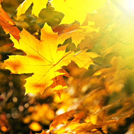 Maple leaves illuminated by the sun photo