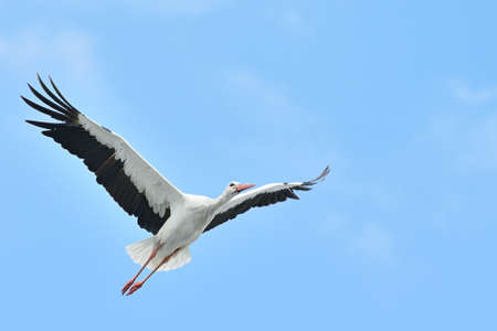 white stork flying on blue sky                                      photo
