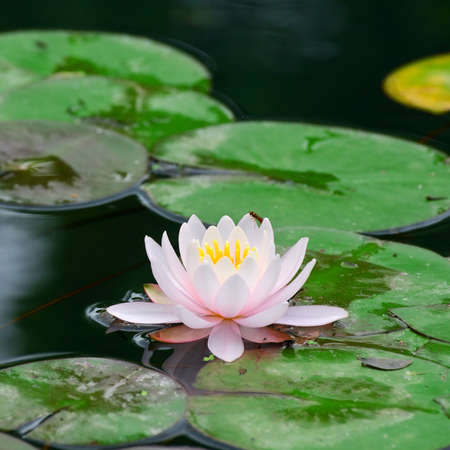 lilia: Water lily in lake                                     Stock Photo