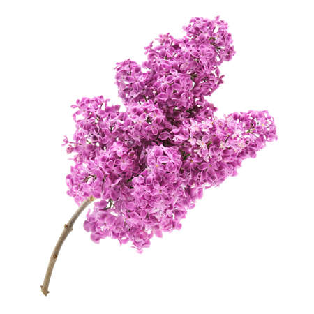 Pink lilac branch isolated on white background photo