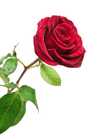 Red rose with rain drops isolated on white background                                     photo