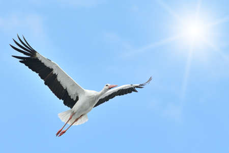 Flying White Stork sunlit                                    photo