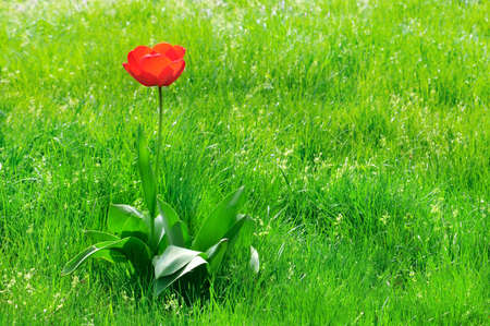 grass plot: red  tulips on a green lawn                                     Stock Photo