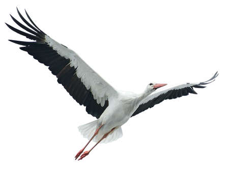 Flying stork isolated on white background