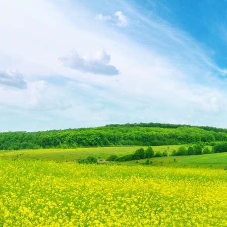 rape plant: Rape field and blue sky
