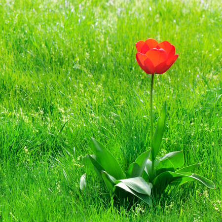 red  tulips on a green lawn                                     Stock Photo