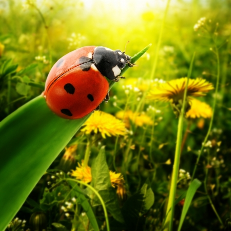 mariquitas: Ladybug luz del sol en el campo