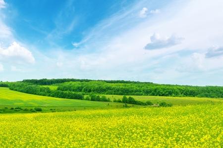 rape plant: Rape field and blue sky                                     Stock Photo