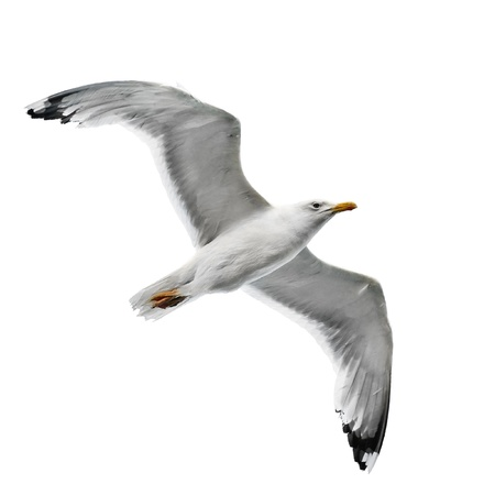 seagull isolated on white background                           photo