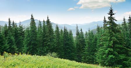 Pinos hermoso en el fondo las montañas altas.