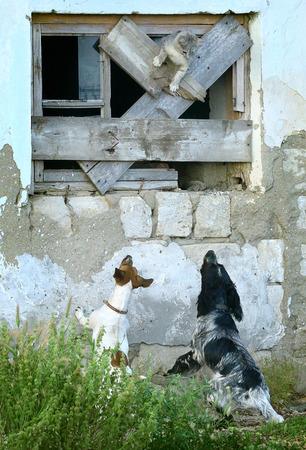 Twee honden jagen een kat