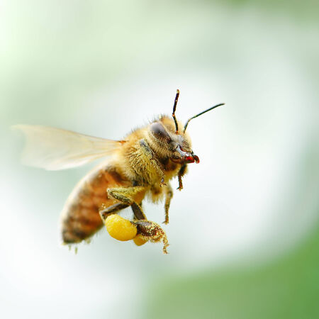 蜂蜜の蜂の飛行 写真素材