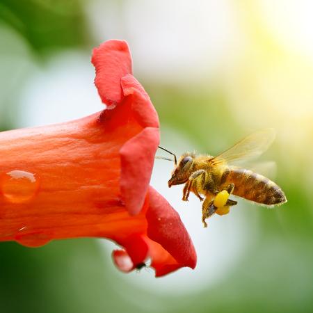 ミツバチが花の蜜を収集します。