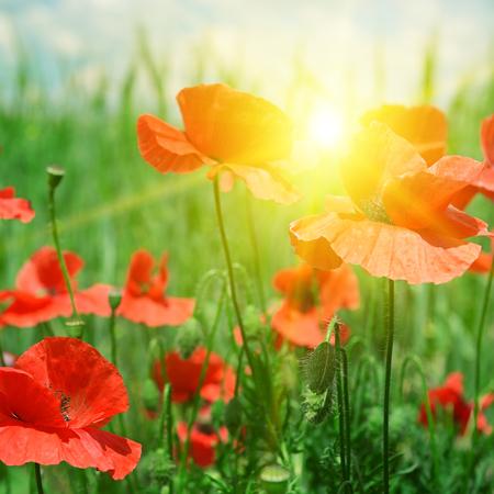 poppies field in rays sun Banco de Imagens