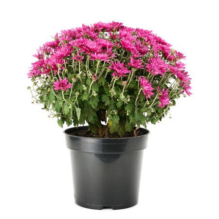 blooming chrysanthemum in flowerpot isolated on white background 版權商用圖片