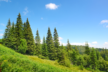 Beautiful pine trees in mountains. Stock Photo