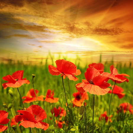 poppies field in rays sun Foto de archivo