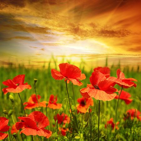 poppies field in rays sun Standard-Bild