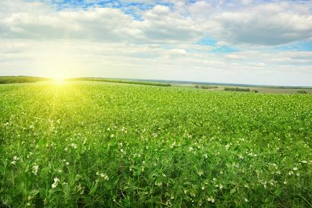 Beautiful sunrise over field pea Standard-Bild