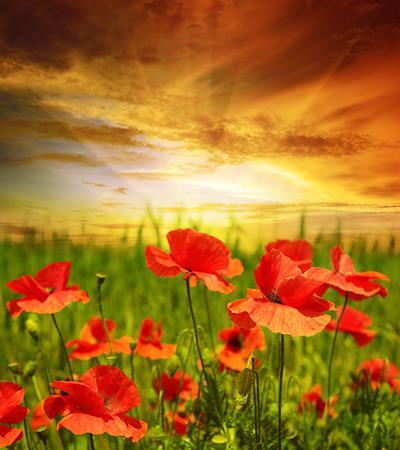poppies field in rays sun 写真素材