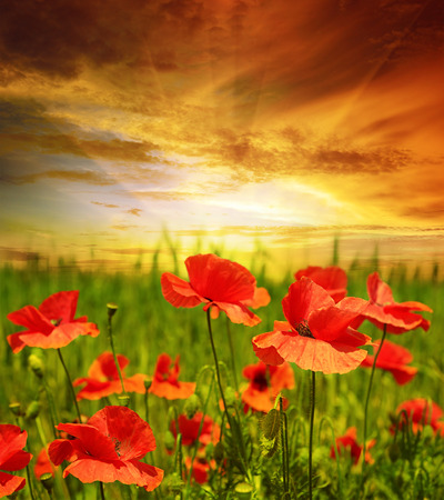 poppies field in rays sun Foto de archivo