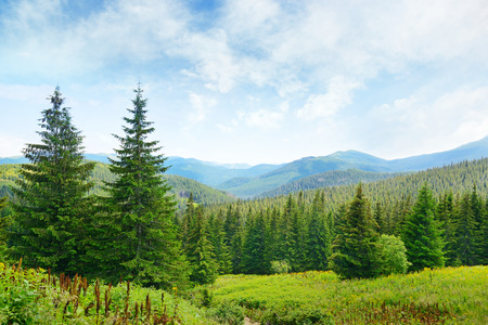 Beautiful pine trees on background high mountains.
