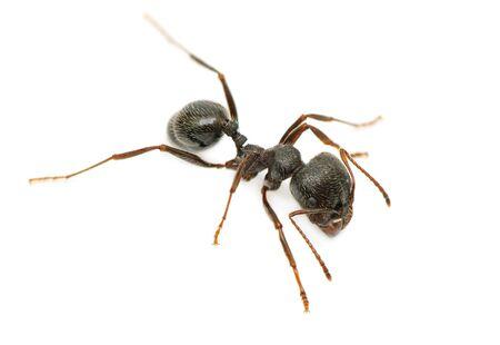 흰색 배경에 고립 된 검은 개미 스톡 콘텐츠