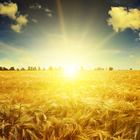 Beautiful sunrise over a field of wheat 스톡 콘텐츠