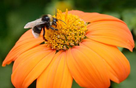 Big bumble bee on flower Stockfoto