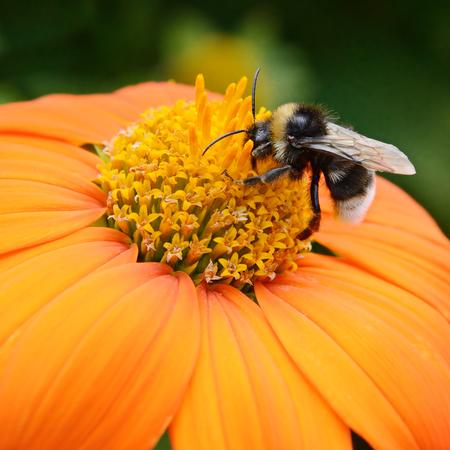 花の大きな熊蜂 写真素材